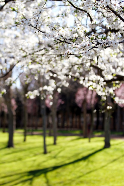blossoms (1)