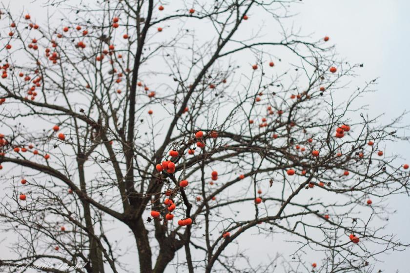 korea-persimmon-sig