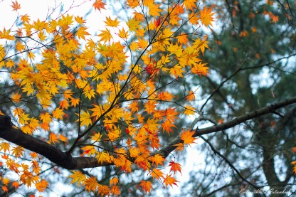 autumn color tree