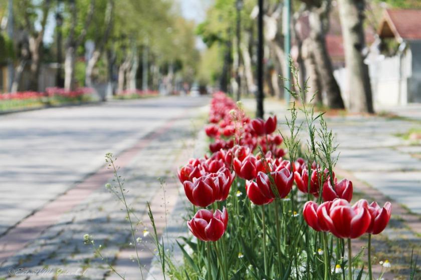 edirne tulip