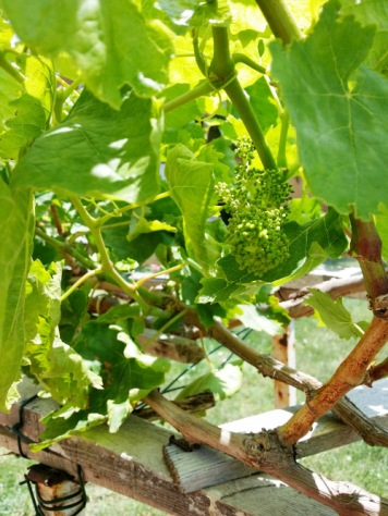 grape vine-1