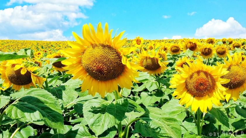 sunflower field sarkoy