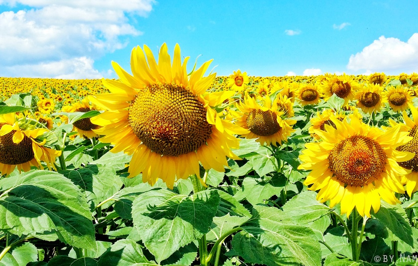 sunflower field sarkoy