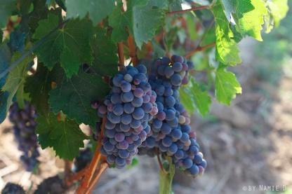 grape veraison